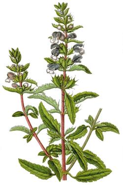 گیاه دارویی بادرنجبویه - word
